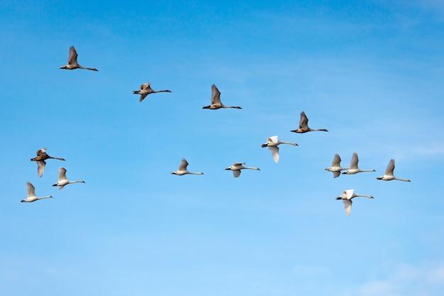 Vliegende witte zwanen op de blauwe hemelachtergrond
