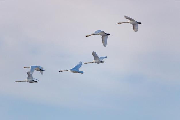 Vliegende witte zwanen tegen bewolkte hemelachtergrond