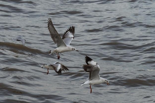 Vliegende zeemeeuwen