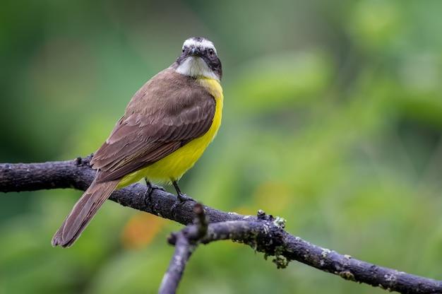 Vliegenvanger die op een droge tak rust die recht vooruit kijkt