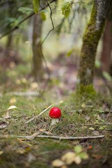 Vliegenzwam amanita muscaria paddestoel in het bos red cap paddestoel close-up