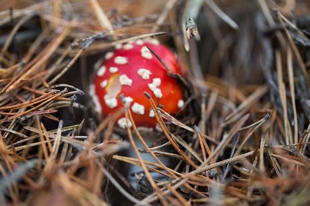 Vliegenzwam in het bos in het mos