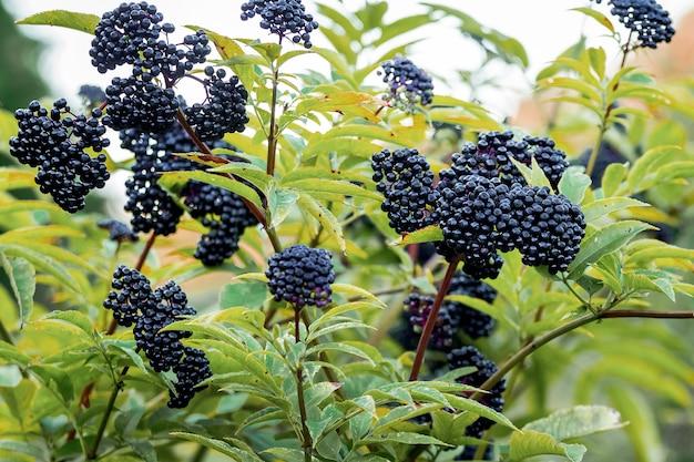 Vlierbes in het bos. zwarte vlierbessen onder groene bladeren. medicinale planten