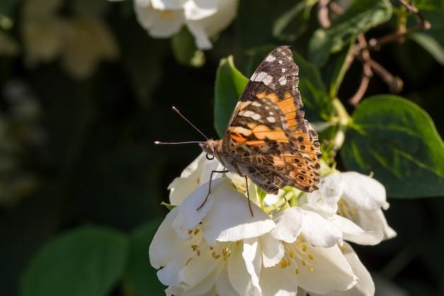 Vlinder aan bloemen