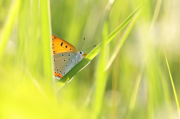 Vlinder aan een lenteweide bij dageraad