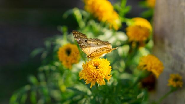 Vlinder aan gele bloem