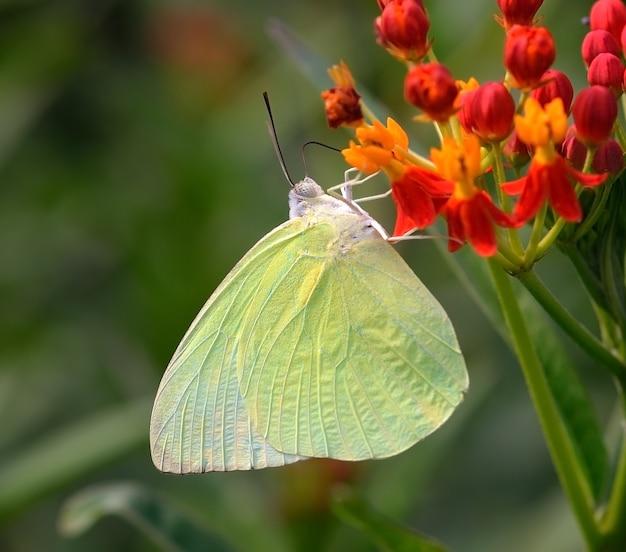Vlinder aan oranje bloem