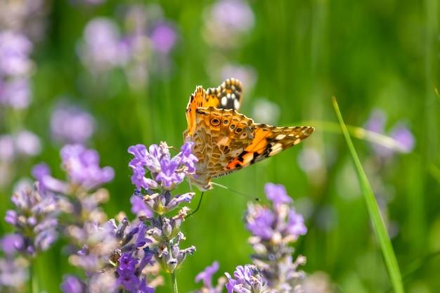 Vlinder aan paarse lavendel bloemen, lavendel veld close-up. natuur