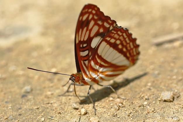 Vlinder (adelpha erotia) op bodemvocht