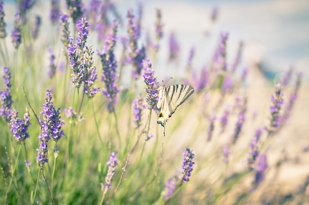 Vlinder bij lavender bush. afgezwakt close-up shot