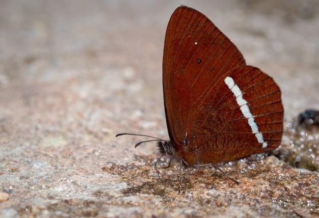 Vlinder die op de grond naar minerale zouten zoekt