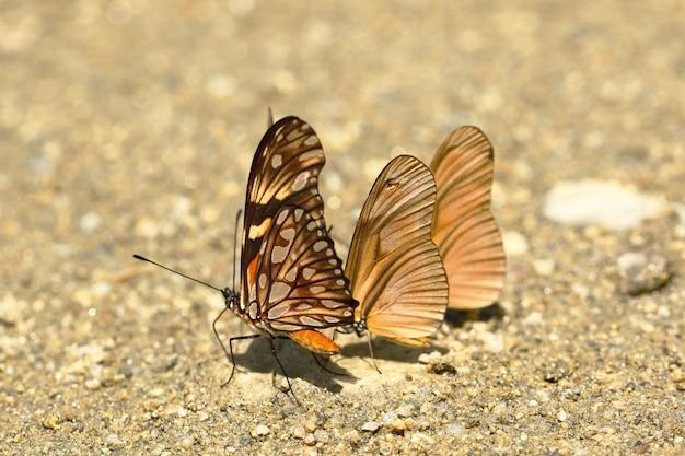 Vlinder (dione juno en dryas julia) op bodemvocht