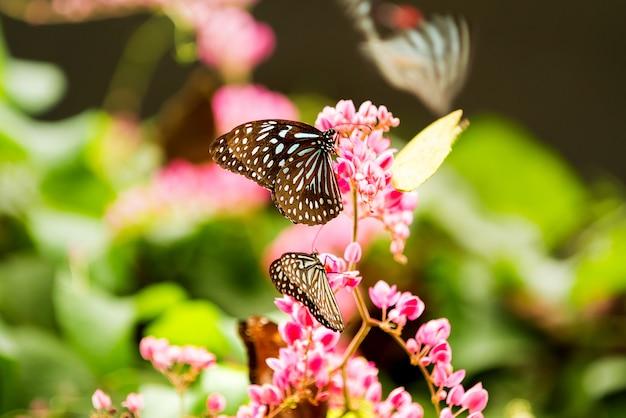 Vlinder donkerblauwe tijgers (tirumala septentrionis) verzamelen stuifmeel op bloem, kuala lumpur, malaisia.
