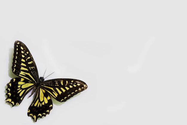 Vlinder geïsoleerd op wit