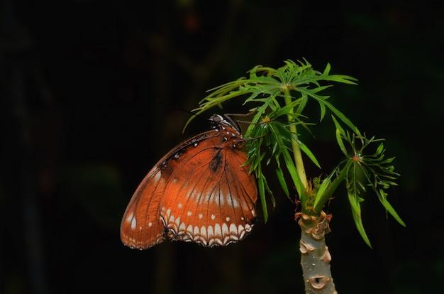 Vlinder geïsoleerd op zwarte achtergrond