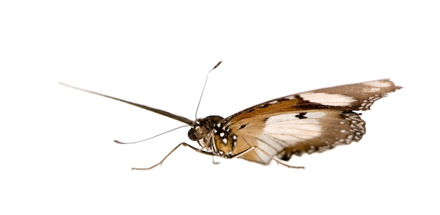 Vlinder geïsoleerd