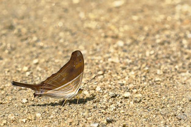 Vlinder (marpesia chiron) op bodemvocht