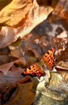 Vlinder met bruine vleugels en zwarte hakken zit op een gedroogd blad