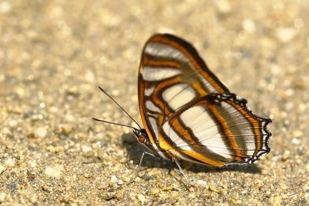 Vlinder (metamorpha elissa) op bodemvocht