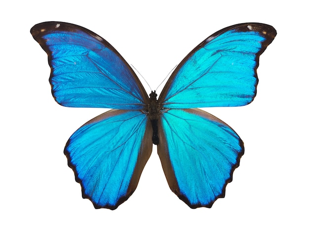 Vlinder morfo. ontwerpelement.