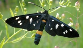Vlinder mot bezaaid