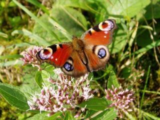 Vlinder, mot