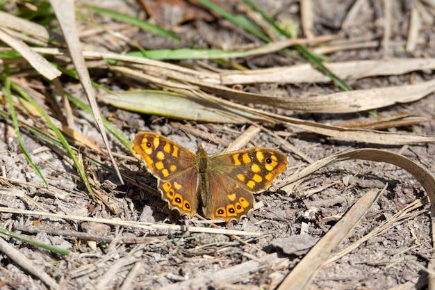 Vlinder neergestreken op de grond, zonnebaden op een lentedag, oker en oranje kleuren, en zijn vleugels gespreid,
