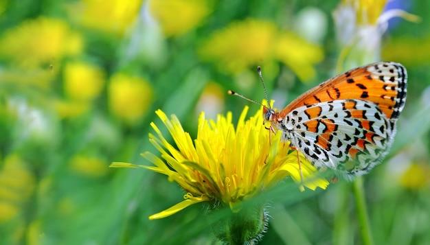 Vlinder op bloemen. heldere rode vlinder op bloeiende paardebloemen