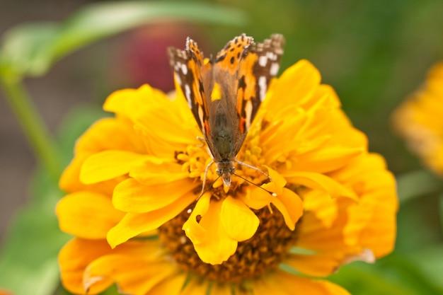 Vlinder op een oranje bloem