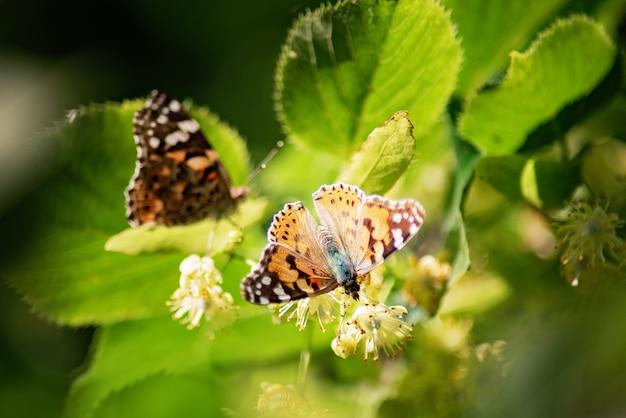 Vlinder op lindebloesem.