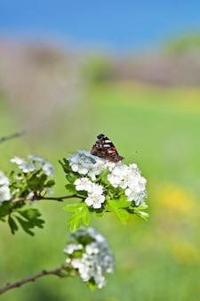 Vlinder op witte bloesemboom, die nectar van bloem verzamelt.
