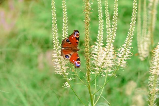 Vlinder peacock eye op grijze bloem close-up vlinder op een bloem in het gras een zomer park met een vlinder in het gras