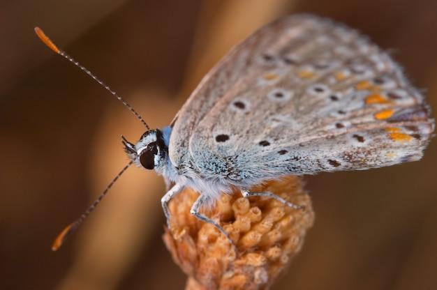 Vlinder (polymmatus icarus)