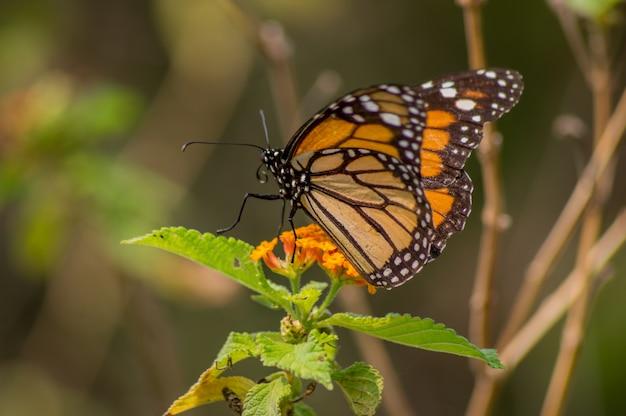Vlinder, schattige monarchvlinder