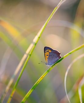Vlinder van coenonympha, de foto is gemaakt in het veld in een inheemse habitat