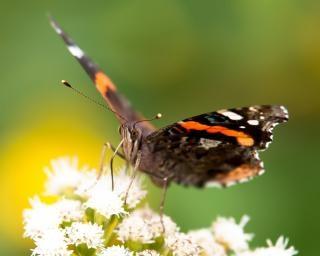 Vlinder verzamelen stuifmeel vlinder
