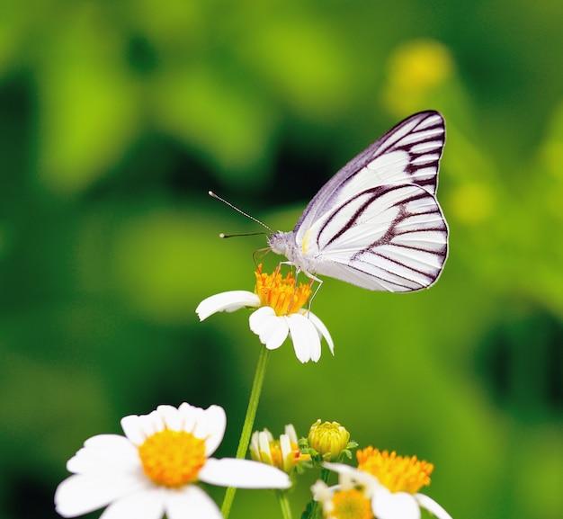 Vlinder voeden met een bloem