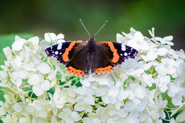 Vlinder zat op de bloemen van hortensia