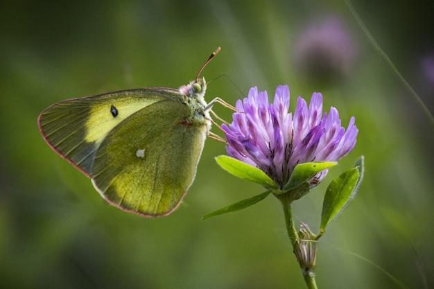 Vlinder zittend op paarse bloem