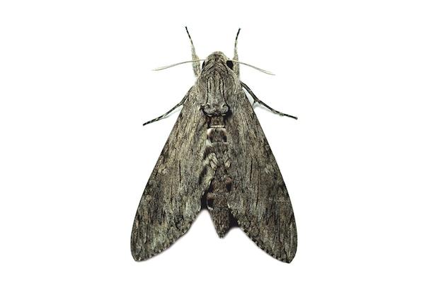 Vlinders die zich 's nachts voeden, geïsoleerd op een witte achtergrond