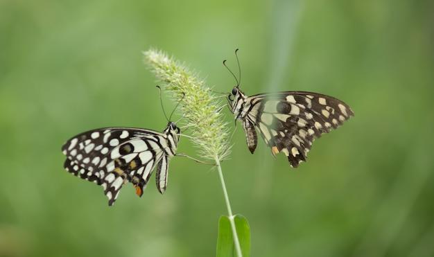 Vlinders op de bloem plant