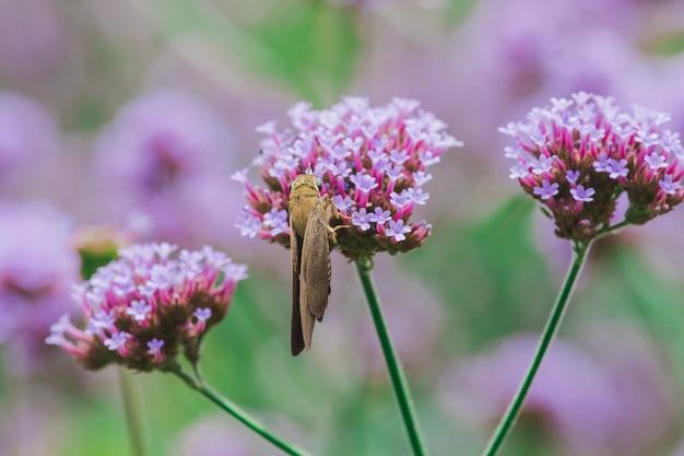 Vlinders op verbena zijn bloeiend en mooi in het regenseizoen.