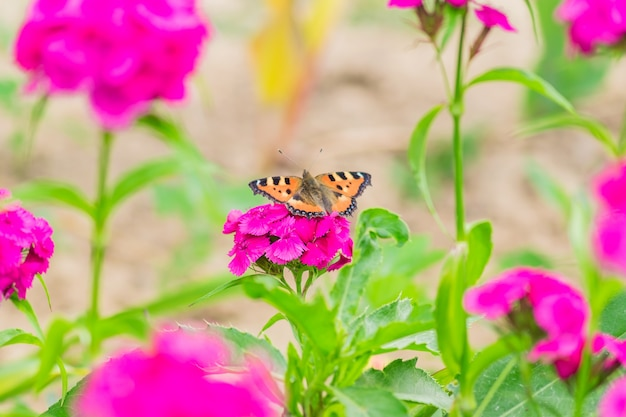 Vlinderzitting op bloeiende roze flox