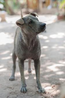 Vlooienallergie met hond-huidinfectie