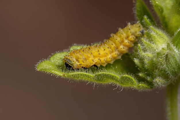 Vlooienkeverlarven van de soort omophoita argus