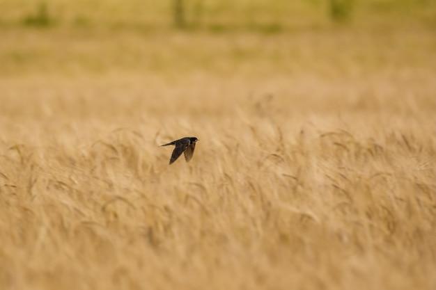 Vlug vlieg over tarwe