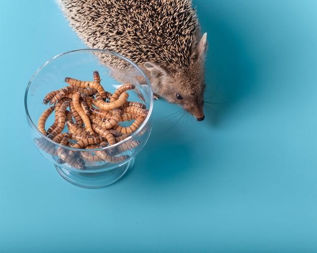 Voeding met levend eiwit van dwergegel. op een blauwe achtergrond, een egel en een kom meelwormen.