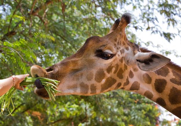 Voer de giraf die in de dierentuin eet.