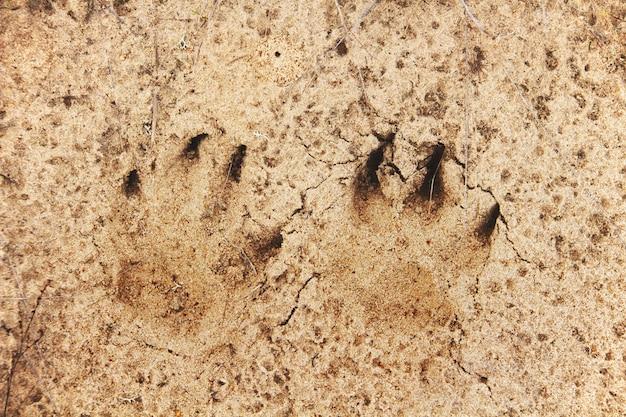 Voetafdruk van een vos in een zand voetsporen van wilde dieren