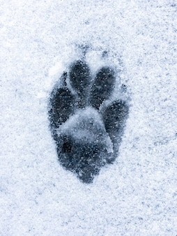 Voetafdruk van wolf of hond op sneeuw